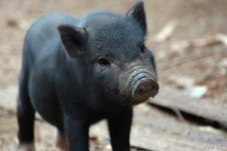 Bilderesultat for mini gris